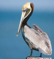 The Brown Pelican - National Bird of St. Kitts Nevis